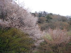 淡い色の山桜