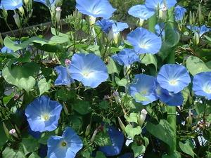 真っ青な花