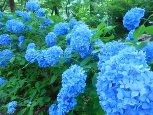 真っ青な紫陽花の花