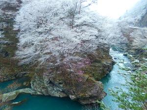 雪景色とヤシオツツジ