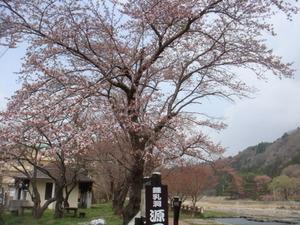 塩原温泉街の桜も開花