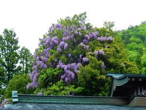妙雲寺の藤