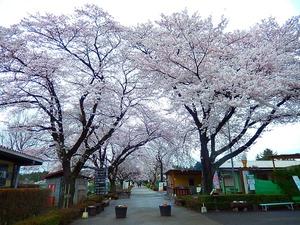 千本松牧場の桜2015.4.7