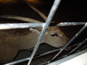 エランド鹿の「コウメ」と