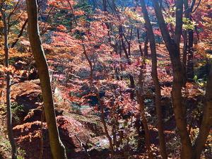 木洩れ日の紅葉