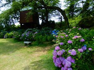 くろばね紫陽花まつり