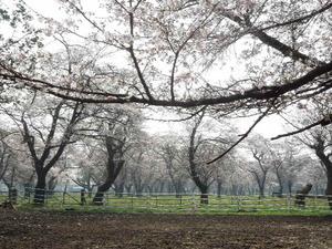 広い敷地に桜が沢山