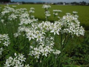 ノビルの花