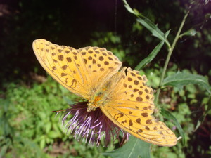 あざみと蝶々