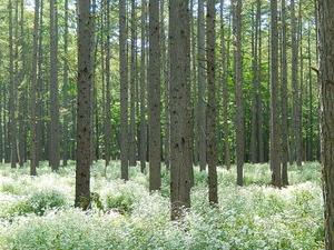 秋の奥日光カラマツ林のシロヨメナ