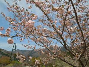 八重桜と大吊橋