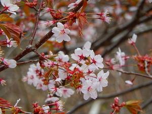 山桜その8