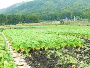 「天寿」収穫
