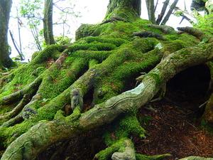 苔むす木の根