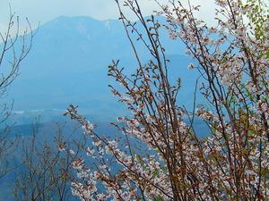 山桜その6