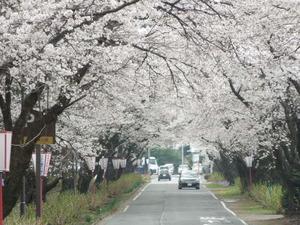 入口の桜並木