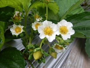 なつおとめの花