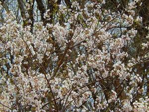 山桜その9