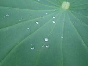 蓮の葉っぱと水滴