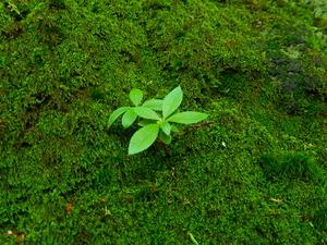 岩にむした苔からツツジの実生