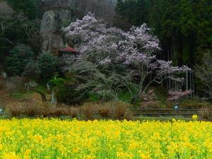 那須町堂の下岩観音の桜