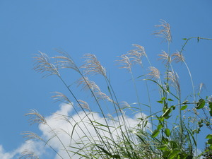 青空とすすきと入道雲