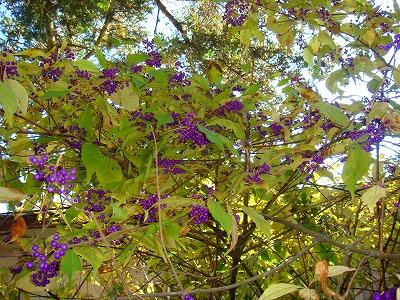 紫式部の木