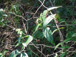コバノカモメヅル