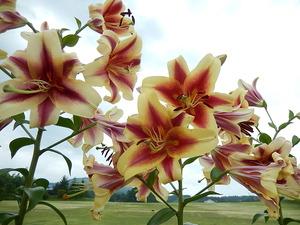 オリエンタル系の百合の花