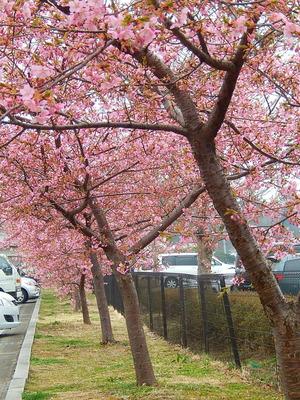 アグリパルの桜