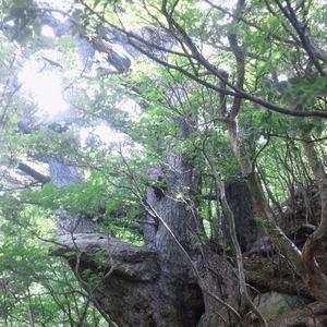 塩原のヒメコマツ(ゴヨウマツ)の巨木