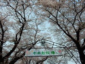 千本松牧場の桜