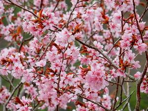 塩那スカイラインの山桜