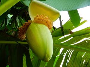おやまだ桃農園さんのバナナの木