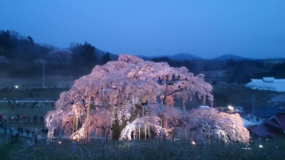 三春の滝桜 タグ: 三春の滝桜  塩原温泉 彩つむぎ 女将の独り言