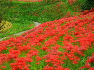 那須町簑沢の彼岸花