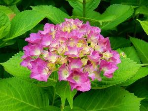 彩つむぎの紫陽花たち