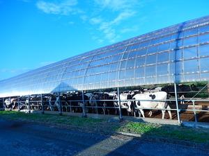 搾乳に向かう牛たち