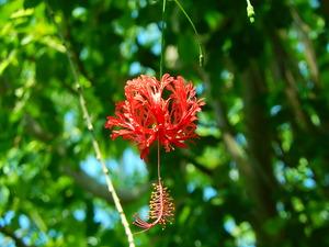 グワバの花