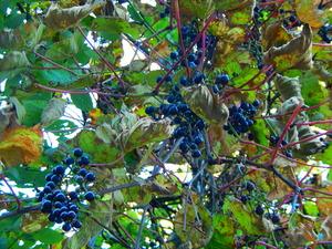 たわわに実った山葡萄