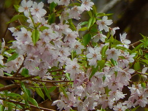 山桜その4