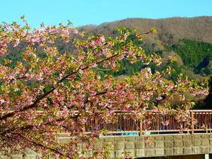 要害公園の桜