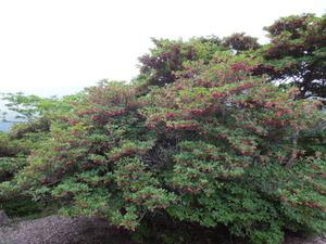 ベニサラサドウダンも大木