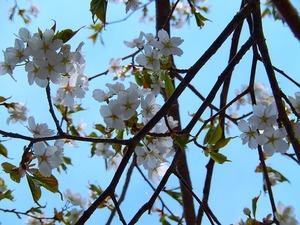 山桜その2