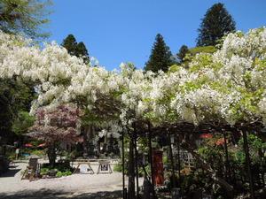 妙雲寺の白藤