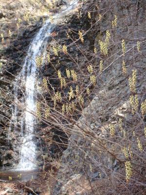 仙髯の滝とキブシ
