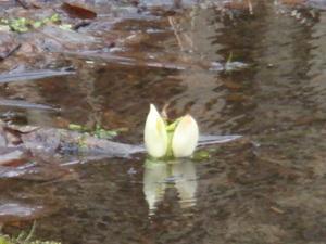 たった一箇所咲いていた水芭蕉