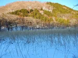 冬のヨシ沼