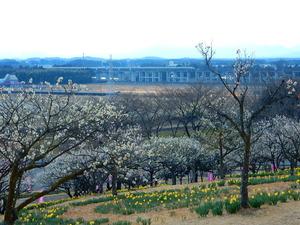 みね山の水仙と梅