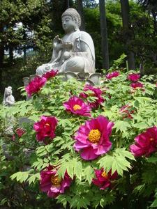 早咲きの牡丹
